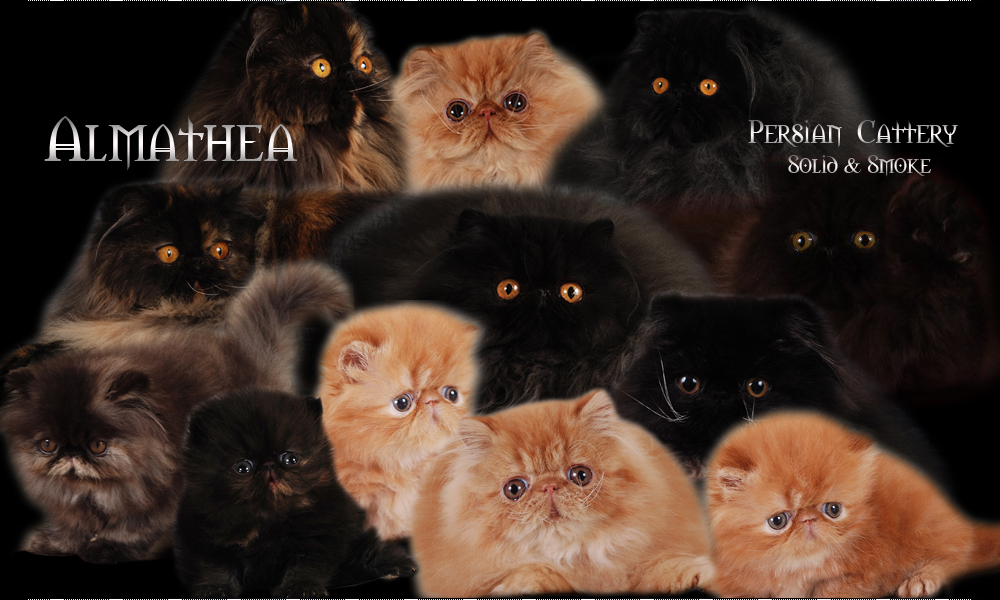 Persian Cats Cattery - Almathea